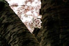 开花在韩国的樱桃在春季期间 图库摄影