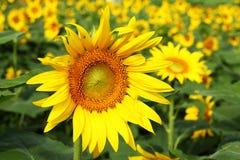 开花在领域的向日葵 免版税库存图片