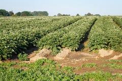 开花在领域的土豆花 与盛大的罐的领域 免版税库存照片