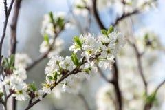 开花在领域的扁桃花  免版税库存照片