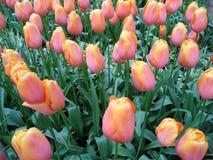 开花在领域的束充满活力的桃红色和黄色同色而浓淡不同的郁金香花 图库摄影