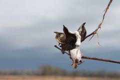 开花在领域的白色棉籽在密西西比 免版税库存照片
