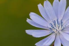 开花在领域的精美蓝色苦苣生茯花 免版税库存照片