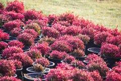开花在领域的红色花在春天 免版税库存图片