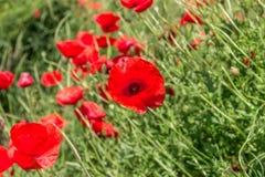 开花在领域的野生鸦片 下雨 免版税库存图片