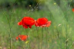 开花在领域的野生鸦片 下雨 免版税库存照片