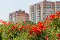 开花在领域的野生鸦片 下雨 图库摄影