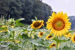 开花在领域,碧玉,乔治亚,美国的向日葵 库存图片