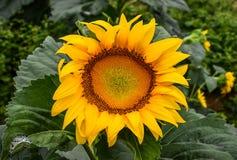 开花在领域,碧玉,乔治亚,美国的向日葵 免版税库存图片