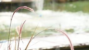 开花在风的摇动沿池塘的白色和棕色草或狼尾草pedicellatum 股票视频