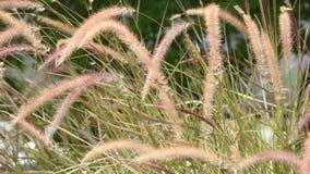 开花在风的摇动的棕色草或狼尾草pedicellatum 影视素材