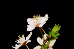 开花在黑背景的樱桃分支 图库摄影