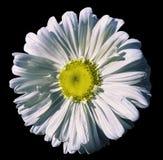 开花在黑色被隔绝的背景的白色春黄菊与裁减路线 雏菊白黄色与小滴设计的水 分类 库存照片