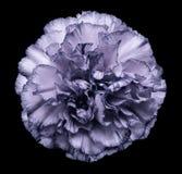 开花在黑色被隔绝的背景的紫罗兰色白的康乃馨与裁减路线 特写镜头 没有影子 对设计 免版税库存图片