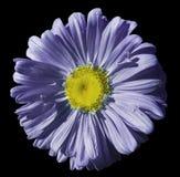 开花在黑色被隔绝的背景的紫罗兰色蓝色春黄菊与裁减路线 雏菊紫色黄色与小滴desig的水 免版税图库摄影