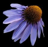 开花在黑色被隔绝的背景的蓝色春黄菊与裁减路线 雏菊轻的蓝色-设计的桔子 特写镜头没有阴影 库存图片