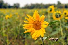 开花在从关闭的一个领域边缘的向日葵 免版税库存照片