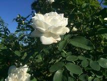 开花在晴天的白色玫瑰 免版税库存图片