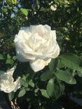 开花在晴天的白色玫瑰 库存图片