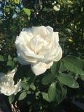 开花在晴天的白色玫瑰 图库摄影
