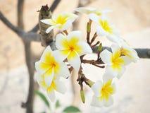 开花在晴天的白花 库存图片