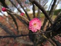 开花在晴天的红色李子在一个冬日 库存照片