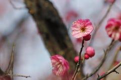 开花在晴天的红色李子在一个冬日 图库摄影