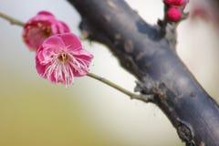 开花在晴天的红色李子在一个冬日 免版税库存照片
