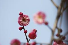 开花在晴天的红色李子在一个冬日 免版税库存图片
