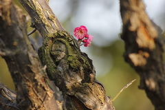 开花在晴天的红色李子在一个冬日 库存图片