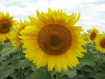 开花在7月,在宽领域中的向日葵 图库摄影