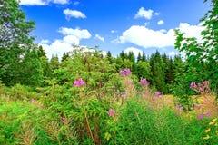 开花在黑森林德国的山的场面 免版税图库摄影