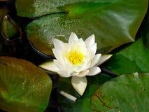 开花在水的莲花 库存图片