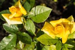 开花在绿色叶子和词根,明信片的概念庭院背景中的两朵美丽的黄色玫瑰  库存图片