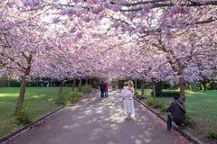 开花在Bispebjerg公墓的樱桃树在哥本哈根 库存图片