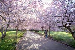 开花在Bispebjerg公墓,丹麦的樱桃树 免版税库存照片