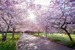 开花在Bispebjerg公墓,丹麦的樱桃树 库存图片