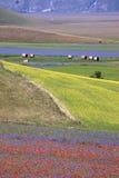 开花在Castelluccio二诺尔恰的扁豆 数千颜色 免版税图库摄影