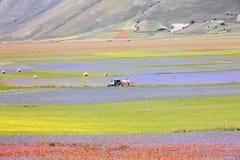 开花在Castelluccio二诺尔恰的扁豆 数千颜色 图库摄影