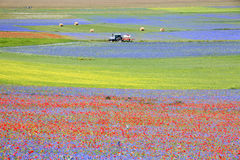 开花在Castelluccio二诺尔恰的扁豆 数千颜色 库存图片