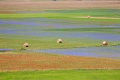 开花在Castelluccio二诺尔恰的扁豆 数千颜色 库存照片