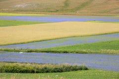 开花在Castelluccio二诺尔恰的扁豆 数千颜色 免版税库存照片
