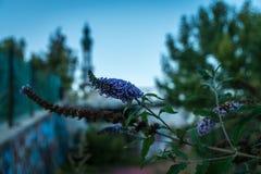 开花在consonno brianza的意大利gosth城市镇 免版税库存图片