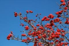 开花在Erythrina树的红色花看法反对蓝天 免版税图库摄影