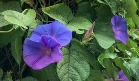 开花在garden_IV的墙壁上的美丽的花 免版税库存照片