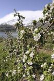 开花在Hardanger,挪威 可以 免版税图库摄影