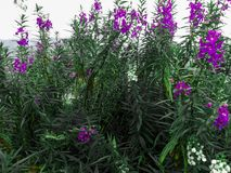 开花在kai santi小山,托莫洪印度尼西亚的紫色淡紫色花 库存图片