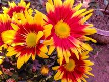 开花在kolkata的庭院花 图库摄影