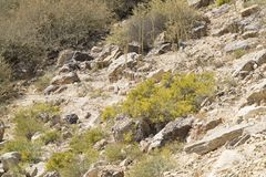 开花在Neqev沙漠的被联接的进军 库存照片