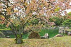 开花在Ninomaru庭院的佐仓在Nijo城堡在sprin期间 免版税库存照片